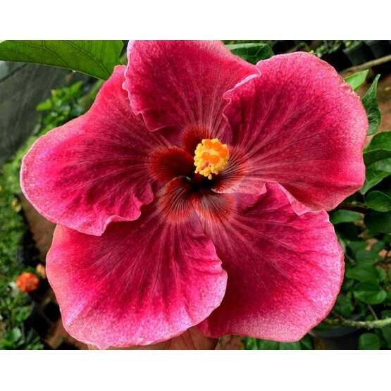 Tahitian Magenta Purple Star
