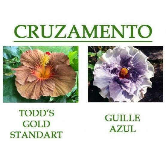 Todds Golden Standart x Guille Azul