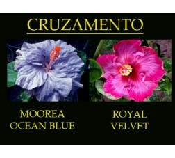 Moorea Ocean Blue x Royal Velvet