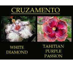 White Diamonds x Tahitian P. Passion