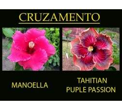Manoella x Tahitian Purple Passion