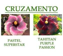 Pastel Superstar x Tahitian Purple Passion