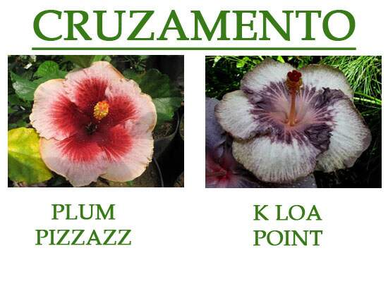 Plum Pizzazz x K Loa Point