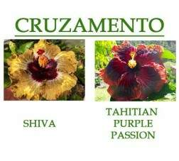Shiva x Tahitian Purple Passion