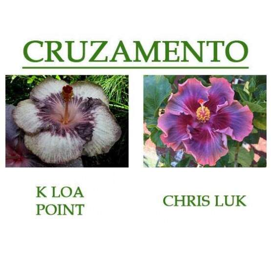K Loa Point x Chris Luk... 5 sementes