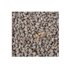 Malte Trigo (Wheat) Inteiro - 100g